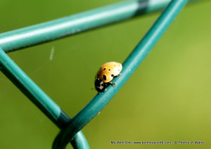 4-5mm Eyed ? ladybird.