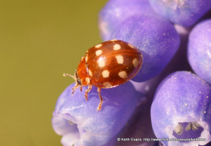 3mm, or less, ladybird