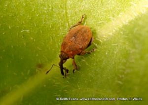 weevil approx 5 - 6 mm, sand dunes