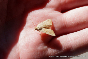 20mm  long approx , moth