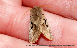 Moth body length from head to wing end 15mm