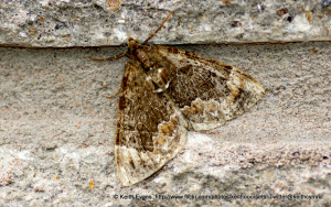 Common Marbled Carpet, ?.