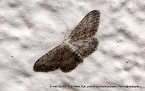 Pug moth, across 20 - 22 mm