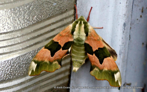 Lime Hawk moth.