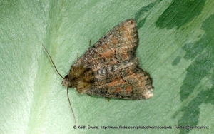 moth body length 10-12mm