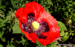 large red poppy ?