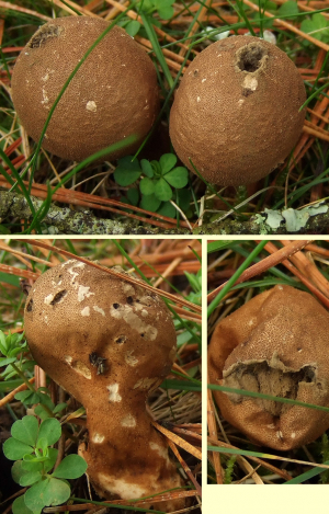 Bantry House, fungi Q8, Lycoperdon umbrinum?