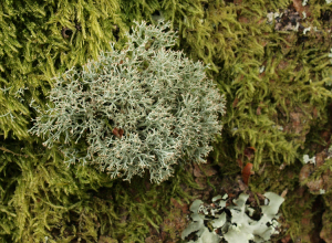 Cladonia - possibly C. furcata?