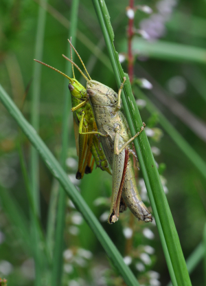 Large Gold Grasshoppers mating