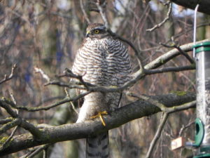 Another Sparrowhawk