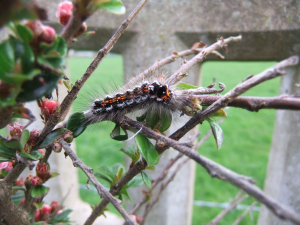 caterpillar on cotoneaster