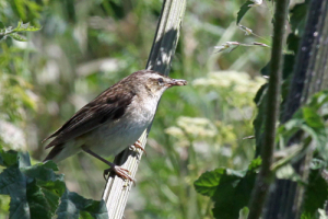 Sedge Warbler with grubs