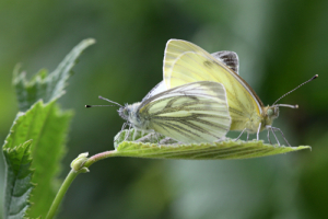 Pair of Green Veined whites