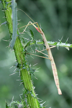 Indian Stick Insect