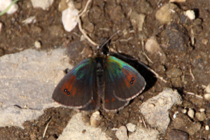 blue green iridescent brown butterfly/moth