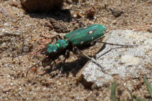 Green Tiger Beetle Cicindela campestris