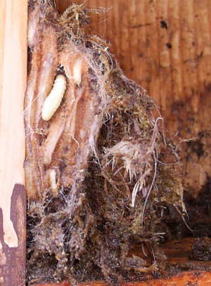 larvae in birdbox1 Jan 2012
