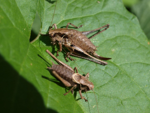 dark_bush_cricket