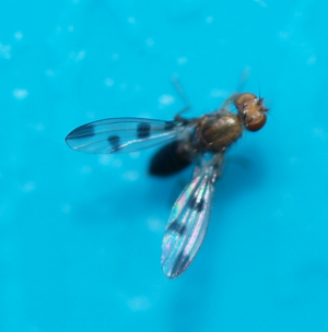 spotty winged fly