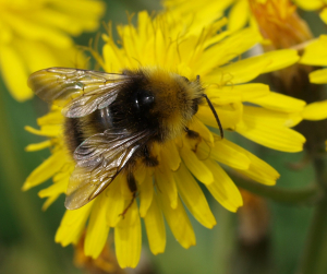 bee feeding on dandelion