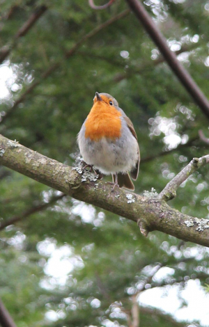 Signs of Spring  - Robin