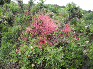 Red filaments on gorse