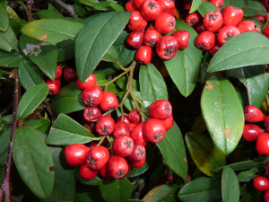 fruiting cotoneaster