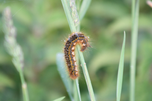 Lackey Caterpillar