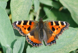 Small Tortoise shell-1