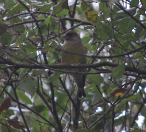 Greenfinch 076-1
