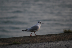 Black headed Gull (Larus ridibundus)