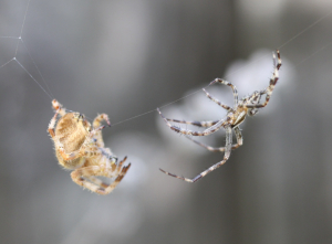 Spiders mating