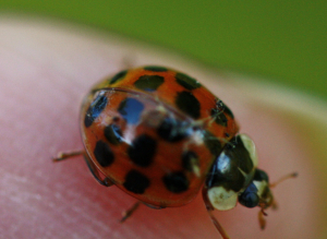 Which ladybird?