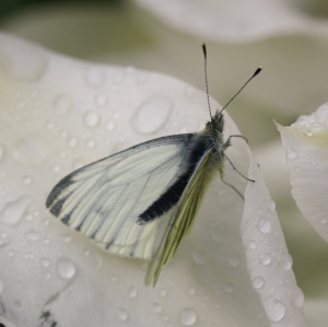 Green veined white 3