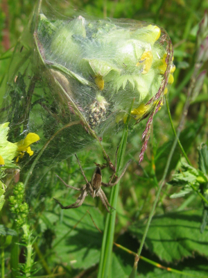 Spider with web around yellow rocket in Breckland