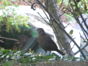 Female Blackbird (Turdus merula)