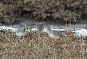 Redshank or Spotted Redshank?