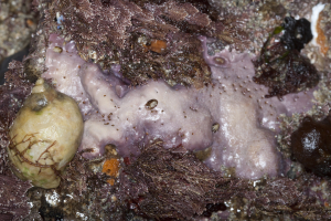Unknown pink sponge