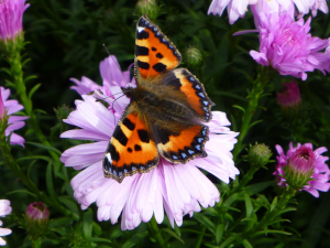 Butterfly on michelmas daisy