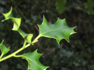 Holly growing wild