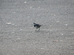 Pied wagtail 2