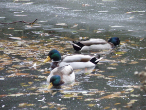 Mallards on ice