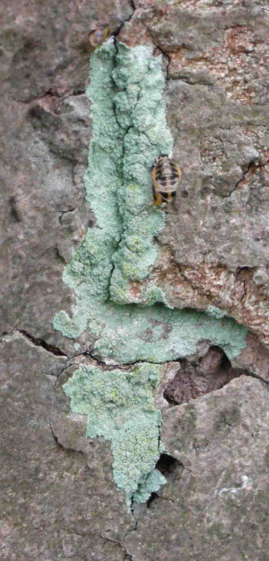 Crustose Lichen - Lepraria Sp. on tree with ladybird pupa
