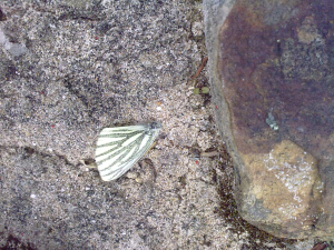 Dead unknown butterfly