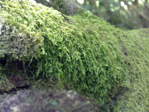 Moss on an old tree