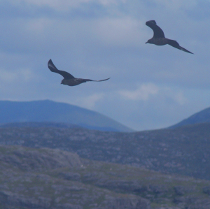 Great Skuas: conflict