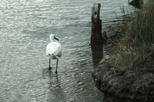 More of the Egrets at Widewater