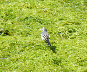 Pied or White Wagtail