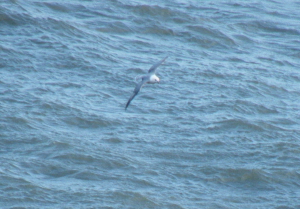 Fulmar in December