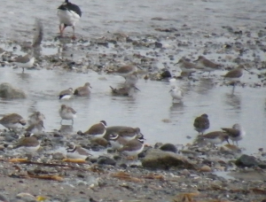 Winter plumage Sanderling feeding with other waders just after high tide